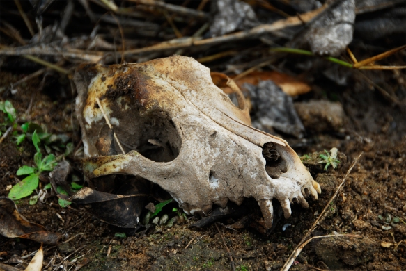 animal-skull-in-the-wild